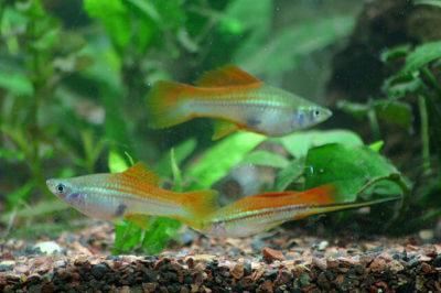 Kılıç Kuyruk Balığı Akvaryumu