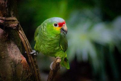 Kırmızı Alınlı Amazon Papağanı - Amazona autumnalis