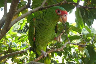 Kırmızı Gözlüklü Amazon - Amazona pretrei