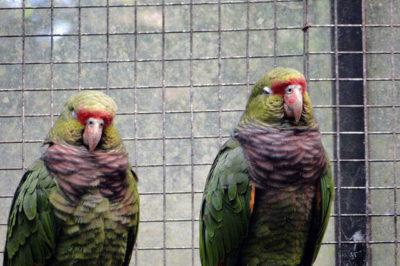 Kızıl Karınlı Amazon - Amazona vinacea
