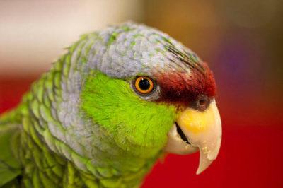Leylak Tepeli Amazon - Amazona finschi