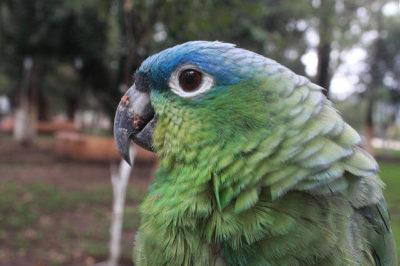 Mealy Amazon Papağanı - Amazona farinosa