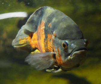 Oscar Balığı - Astronotus ocellatus