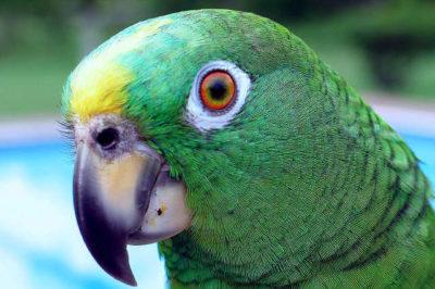 Sarı Alınlı Amazon Papağanı - Amazona ochrocephala