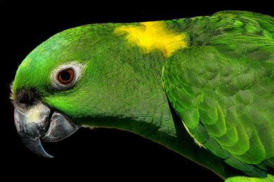 Sarı Enseli Amazon - Amazona auropalliata
