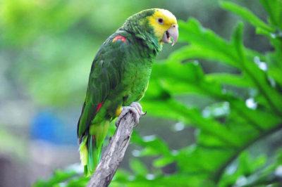 Sarı Kafalı Amazon Papağanı - Amazona oratrix