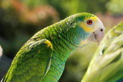 Sarı Omuzlu Amazon - Amazona barbadensis