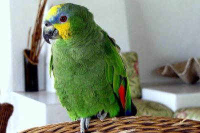 Turuncu Kanatlı Amazon - Amazona amazonica