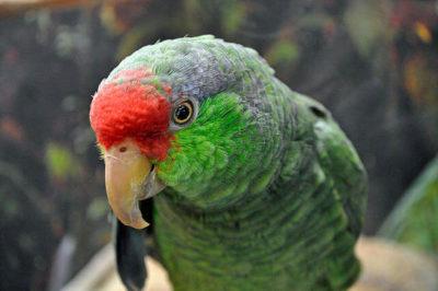 Yeşil Yanaklı Amazon Papağanı - Amazona viridigenalis