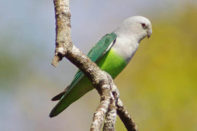 Gri Kafalı Sevda Papağanı - Agapornis canus