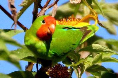 Kırmızı Yüzlü Sevda Papağanı - Agapornis pullarius