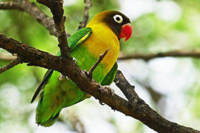 Maskeli Sevda Papağanı - Agapornis personatus