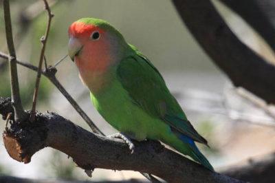 Şeftali Yüzlü Sevda Papağanı - Agapornis roseicollis