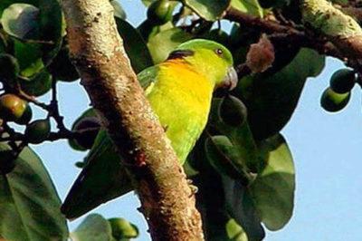 Siyah Enseli Sevda Papağanı - Agapornis swindernianus