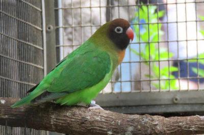 Siyah Yanaklı Sevda Papağanı - Agapornis nigrigenis