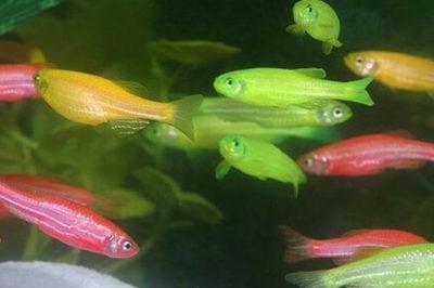 Neon Zebra Balıkları