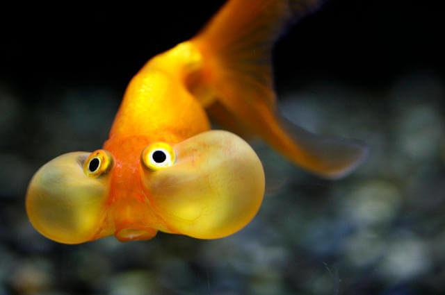 Torba Gözlü Japon Balığı