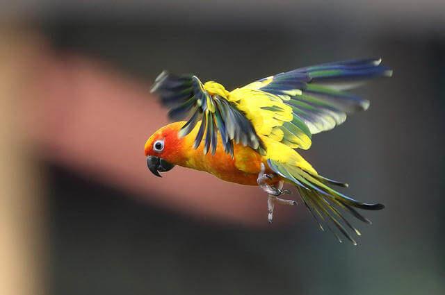 Aratinga solstitialis - Güneş Konur Papağanı