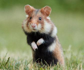 Avrupa Hamsteri - Cricetus cricetus