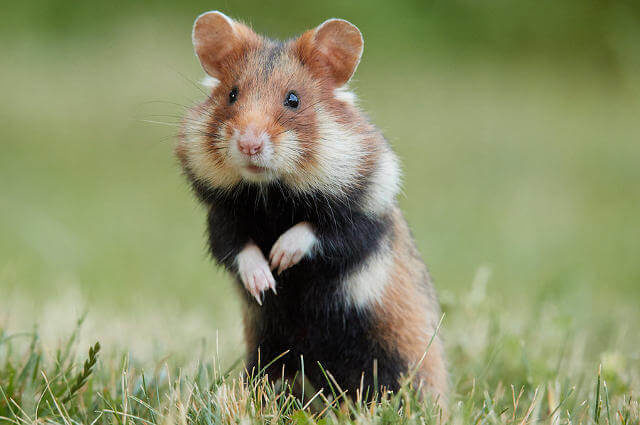 Cricetus cricetus - Avrupa Hamsteri