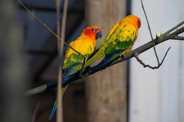 Güneş Konur Papağanları