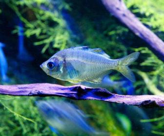 Cam Balığı - Parambassis ranga