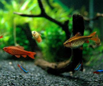 Tropikal Akvaryum Balıkları